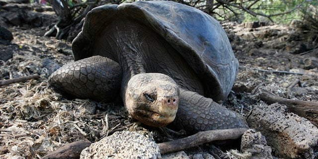 A giant tortoise is seen at its shelter at Galapagos National Park in Santa Cruz September 15, 2008.