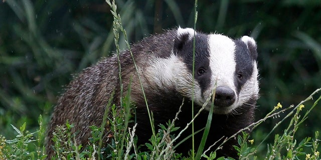 A badger in southern England.