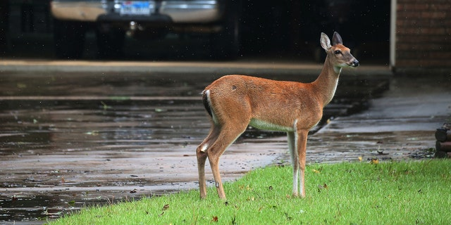 A deer stands in the driveway of a house as it escapes high flooding water from the San Jacinto River following Hurricane Harvey in Conroe, Texas, U.S., August 29, 2017.
