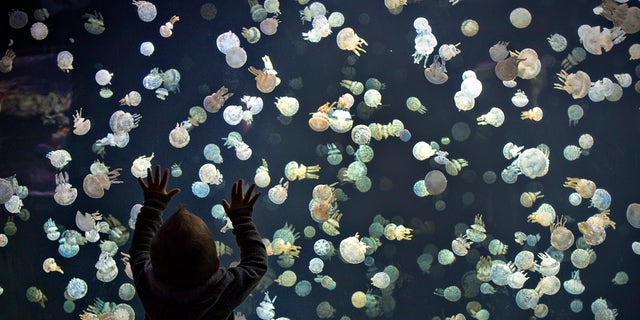File photo: A boy watches jellyfish swim in a large tank at the Vancouver Aquarium in Vancouver, British Columbia May 16, 2013.