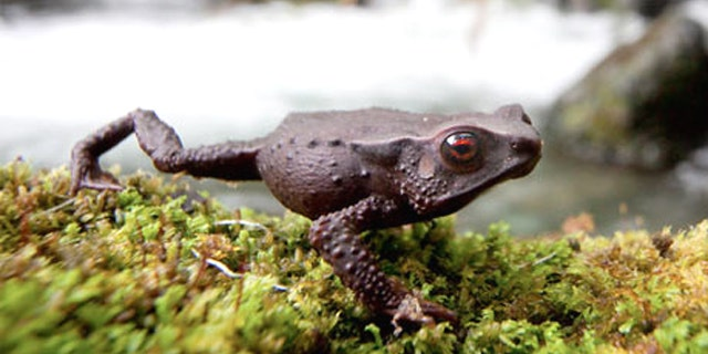 This new toad species with striking red eyes was found in the cloud forests of Chocó, Colombia.