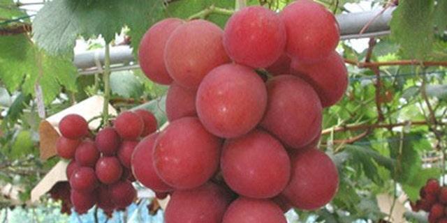 Ruby Roman grapes.