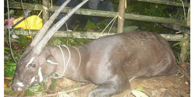 One of the rarest animals in the world, called a saola, has been sighted for the first time in more than 10 years in Laos.