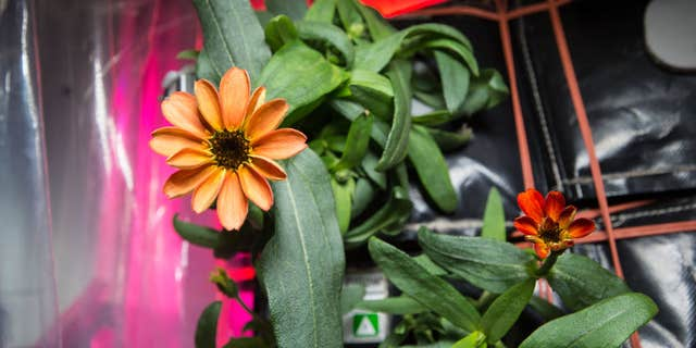 """On Jan. 16, 2016, Expedition 46 Commander Scott Kelly shared photographs of a blooming zinnia flower in the Veggie plant growth system aboard the International Space Station. Kelly wrote, """"Yes, there are other life forms in space! #SpaceFlower #YearInSpace"""""""