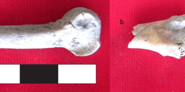 Domestic chicken bones recovered from Mezber include a distal tibiotarsus bone with a cut mark (left) and the shaft of a humerus bone with a human tooth mark (right). (Courtesy of International Journal of Osteoarchaeology)