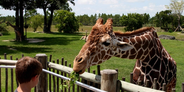 Giraffes aren't just munching on leaves these days.