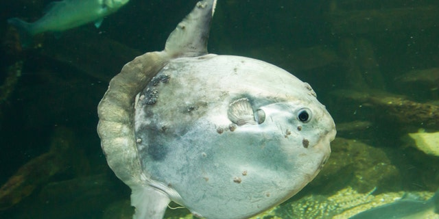 Ocean sunfish (Mola mola) in captivity, Ameland, Holland