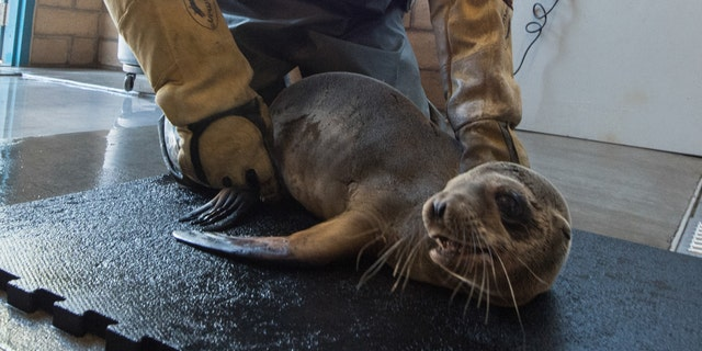 Kevin Robinson of SeaWorld's Rescue Team cares for a California sea lion pup that was found stranded in the dining room of the iconic Marine Room restaurant in La Jolla, California on Thursday. The sea lion, very malnourished and dehydrated, was likely trying to find a warm, dry place to sleep.
