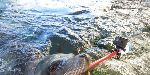Milo the sea lion and the selfie stick (Hugh Ryono/Aquarium of the Pacific).