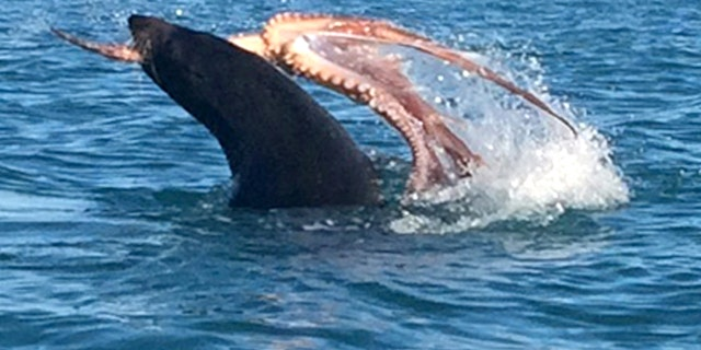 Incredible footage shows the 265lb fur seal battling the octopus.