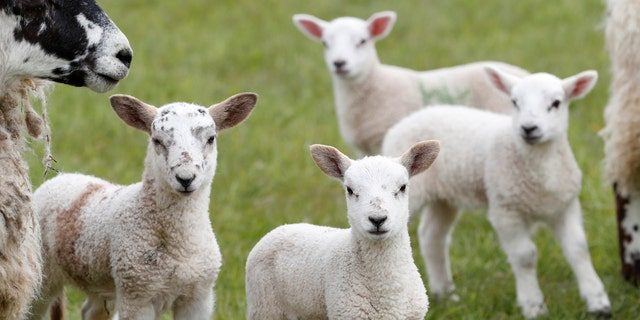 File photo - Sheep are seen on farm near Melrose in the Scottish Borders, Scotland, Britain April 27, 2017. Picture taken April 27, 2017. (REUTERS/Russell Cheyne)