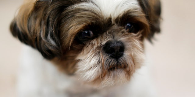 A New York man was arrested after he allegedly bit the eye out of his family's Shih Tzu, similar to the dog above, according to officials.
