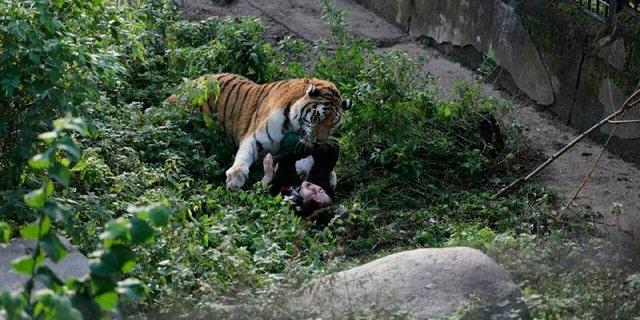 The Siberian tiger attacking the zookeeper at Kaliningrad zoo