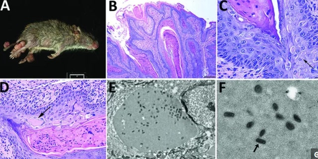 """A newfound poxvirus, dubbed """"Brazospox virus,"""" was recently discovered in Texas rodents. Above, an image of an infected rodent with large skin lesions on its legs and tail (A); images of the skin lesions under a microscope, with arrows showing aggregates of viral proteins (B-D); images of the virus particles, which have a """"brick-shape"""" appearance (E-F)."""