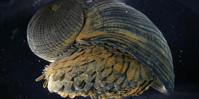 """The shell of the """"scaly-foot"""" snail, shown here, has a unique structure that may provide clues for designing improved body armor, a new study suggests."""