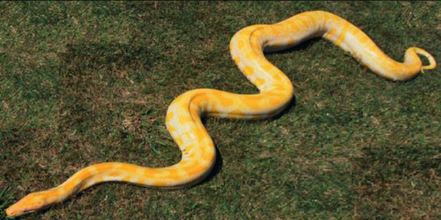 This 17-foot python has gone missing in northern Alaska. Matanuska-Susitna Borough Animal Care Department