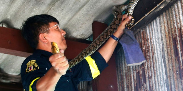 In this Nov. 3, 2017, photo, fireman Phinyo Pukphinyo catches a python on a garage roof in Bangkok, Thailand.