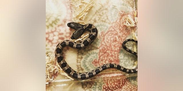 The western rat snake has a genetic deformity