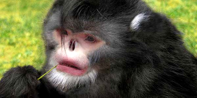 A Photoshop reconstruction of the new snub-nosed monkey, based on a Yunnan snub-nosed monkey and a carcass of the newly discovered species.