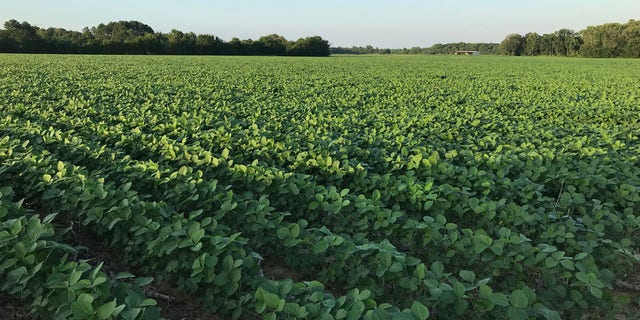 Soybeans grow in a field in Canton, Miss. According to the American Soybean Association, about 1 in 3 rows of soybeans in the United States are exported and sold to China.