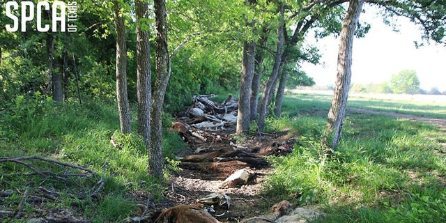 Fifty dead horses lay strewn across a creek, decomposing on a property in Canton, Texas, where 87 other animals were taken into custody.