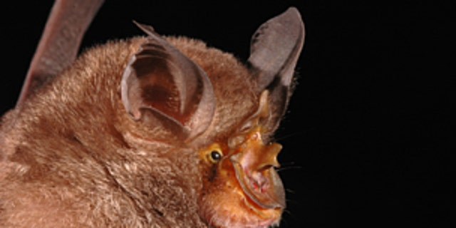 The mountain horseshoe bat is one of 115 new species discovered in the Greater Mekong(© Pipat Soisook)