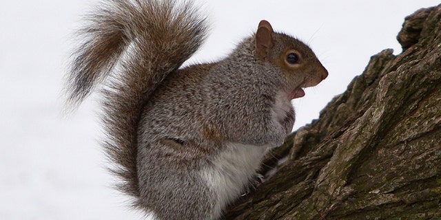 A squirrel gathers food in Central Park in the Manhattan borough of New York February 9, 2015.     REUTERS/Carlo Allegri   (UNITED STATES - Tags: ANIMALS ENVIRONMENT) - RTR4OX97