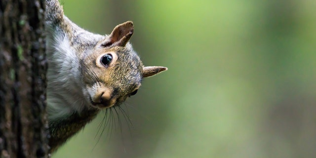 Squirrels are left or right-handed, new research shows.