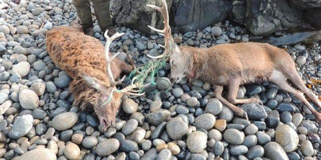 A photo shows two dead deer who presumably perished when their antlers became tangled in fishing line.