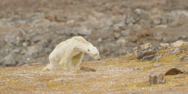 A video of the starving polar bear has gone viral