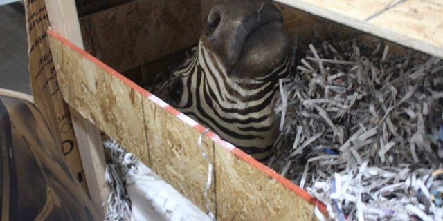 A stuffed zebra was among a bizarre collection of 65 stuffed animals or animal heads, including buffaloes, a lion and a bear