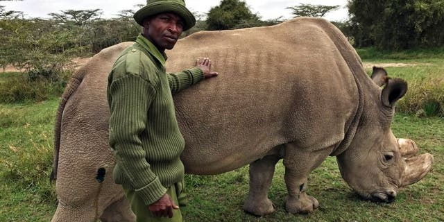 In this Friday, July 28, 2017 file photo, wildlife ranger Zachariah Mutai takes care of Sudan, the world's last male northern white rhino, at the Ol Pejeta Conservancy in Laikipia county in Kenya.