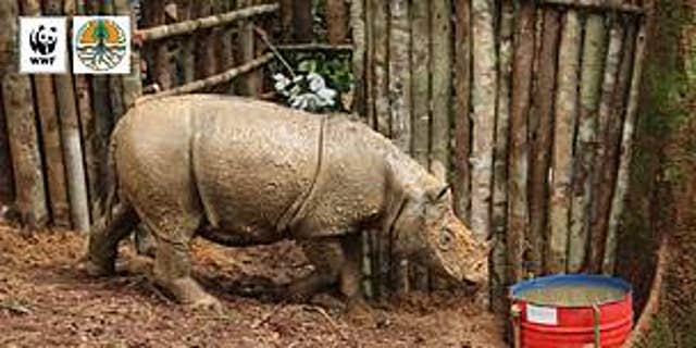 The Sumatran rhino was captured on March 12.