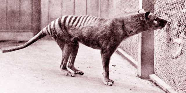 Westlake Legal Group tasmanian-tiger-getty Tasmanian tiger seen 80 years after it was thought to have gone extinct: report fox-news/science/wild-nature/mammals fox-news/science/wild-nature/endangered fox news fnc/science fnc Chris Ciaccia b31e7d80-5b5c-5a65-b97f-2d3cba7dae11 article