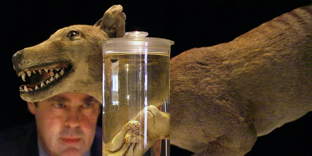Don Colgan, Head of the Evolutionary Biology Unit at the Australian Museum, speaks under a model of a Tasmanian Tiger at a media conference in Sydney as seen in this May 4, 2000 file photo regarding the quality DNA extracted from the heart, liver, muscle and bone marrow tissue samples of a 134 year-old Tiger specimen (R) preserved in alcohol. The last known Tasmanian Tiger died in 1936 after it was hunted down and wiped out in only 100 years of human settlement. - PBEAHULIOCU