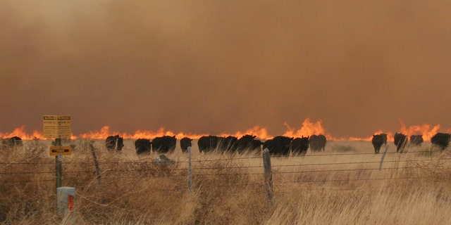 April 9: A herd of cattle run from a wildfire near Marfa, Texas. The fire danger remains high in West Texas where firefighters are battling a blaze that's destroyed dozens of homes in two communities, and crews are trying to contain fires elsewhere in the state. (AP/bigbendnow.com)