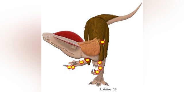 The meat-eating dinosaur <i>Dilophosaurus wetherilli</i> has eight major injuries (indicated by the stars), twice as many as Sue, the <i>Tyrannosaurus rex</i> at the Field Museum in Natural History in Chicago.