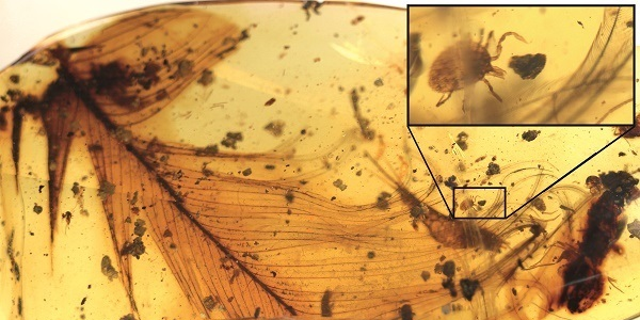 A tick discovered in amber likely feasted on feathered dinosaurs, research suggested.