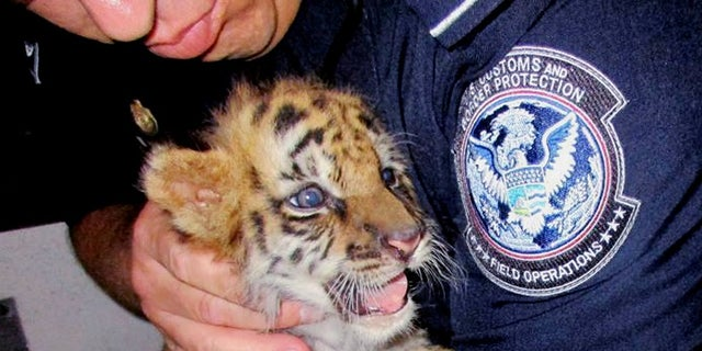 The male tiger was confiscated at the U.S. border crossing at Otay Mesa southeast of downtown San Diego early Wednesday.