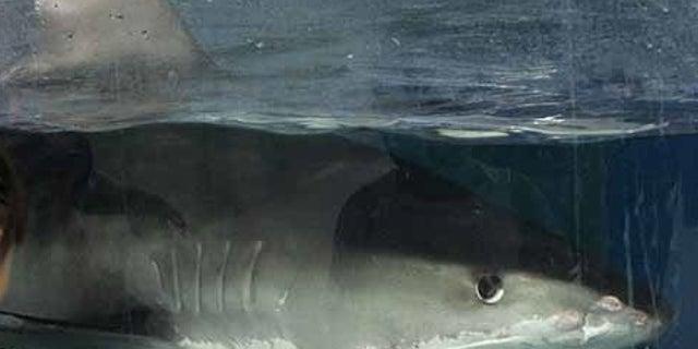 File image of a tiger shark.
