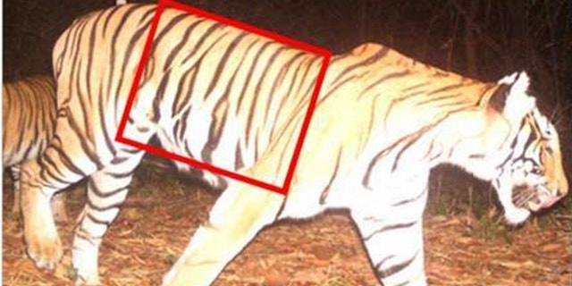 WCS helped identify this poached tiger through camera traps that showed its unique stripe pattern.  WCS experts ID the animal as a female photographed Huai Kha Khaeng (HKK) Wildlife Sanctuary. (WCS/Government of Thailand)