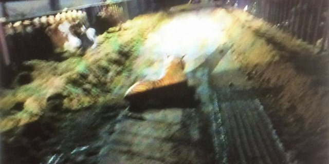 A farmer said he was checking on his pregnant cows when he spotted the alleged wild animal.