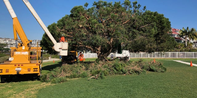 Workers stumbled upon the tri-level tree house in Dana Point, California while trimming the tree.