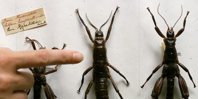 File photo - An Australian Museum scientist points to the female (L) and male 80-year-old Lord Howe Island Phasmid Dryoccelus Australis stick insect specimens in Sydney Feb. 14, 2001. (Reuters)
