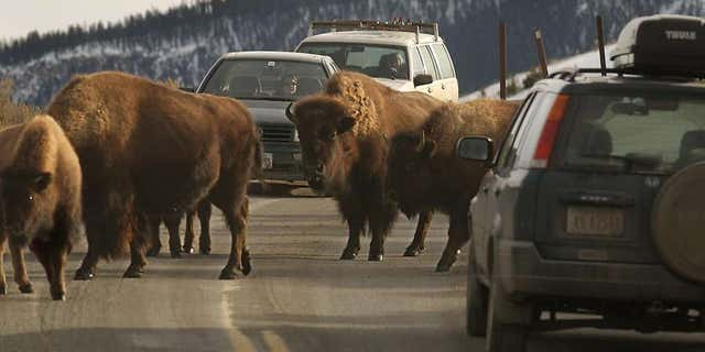 It's okay to stay in the car if you see a herd of bison coming your way.