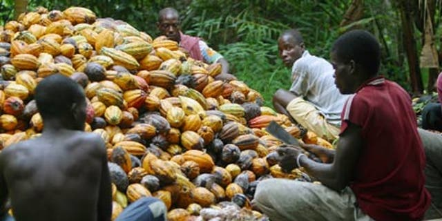 Growers harvest cocoa pods.