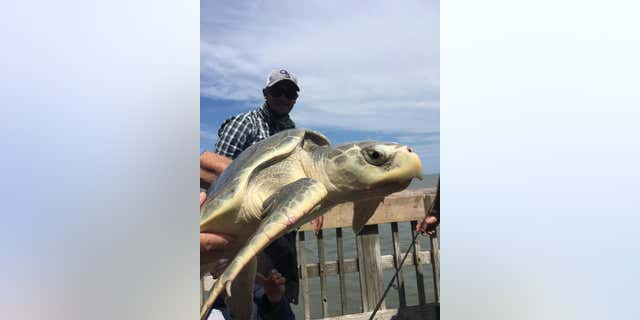 The turtle, which measured 26-inches in length, was released after it was caught.
