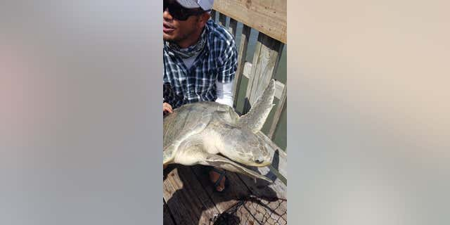Amann accidentally caught the Kemp's ridley sea turtle — the most endangered of all sea turtles — on Monday.