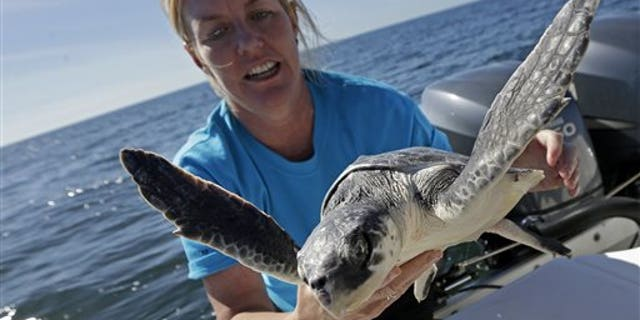 Suzanne Smith, Stranding & Rescue Coordinator of Marine Mammals & Sea Turtles for the Audubon Nature Institute, releases an endangered Kemp's ridley sea turtle, which was rescued in New England, and rehabilitated by the institute, into the Gulf of Mexico, 24 miles off the coast of Louisiana, Monday, Jan. 2, 2012. The institute released nearly two dozen of the more than 1,200 cold-stunned young Kemp's ridley sea turtles were stranded in November and December in New England. (AP Photo/Gerald Herbert)