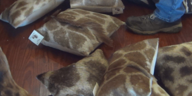 Pillows made of giraffe-hide were photographed as being for sale at the African Market's Trophy Room Collection in Myakka, Florida.
